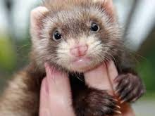 Is A Ferret the Proper Pet For You?