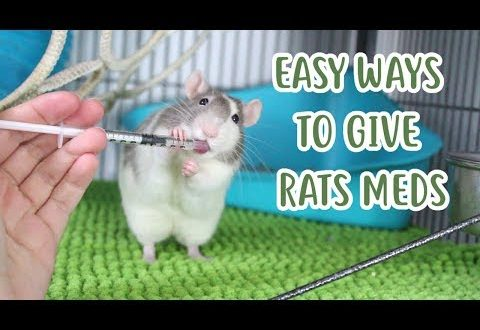 Rat and Rodents Health – Tips on Medicines and Neutering