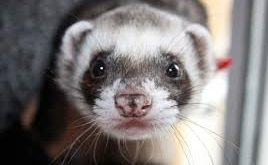 What To Assume And Prepare For When Maintaining Ferrets As Pets